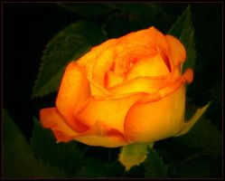 ORANGE ROSE 9 by THOM-B-FOTO