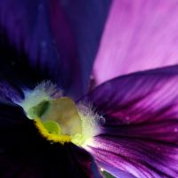 :Pansy: by Inadesign