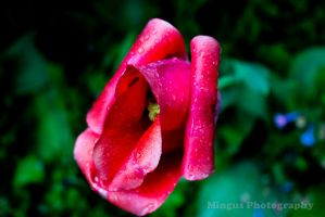 Red and White Wet Tulip by justarus