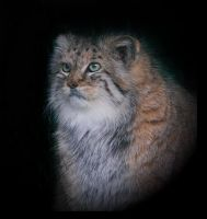 Manul by Lilia73