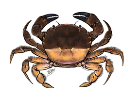 Nectocarcinus integrifrons by ReneCampbellArt