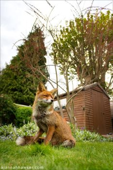 Urban Fox II by Alannah-Hawker