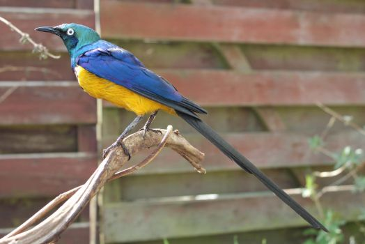 Taxidermy - golden breasted starling outside by Escai