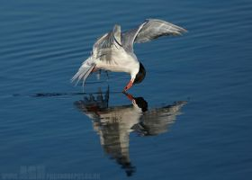 Common Tern by Albi748