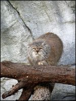 Pallas Cat by StormPetral0509