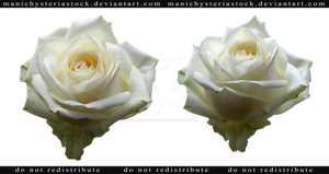 White Rose Cut Out 2 by ManicHysteriaStock