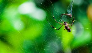 The Golden Silk Orb-Weaver Always Catches Its Prey by xX-Mr-No-Name-Xx