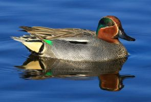 Teal Duck (male) by NurturingNaturesGift