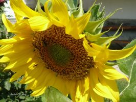 sunflower by andi40