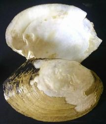 Large River Shell by benblum