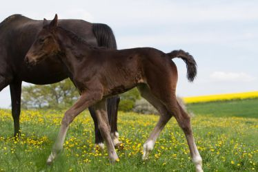 Bay Foal beautiful Trot Stock by LuDa-Stock