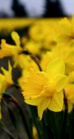 A daffodil by avatare