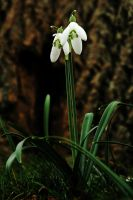 Looking Up to Snowdrops by Earth-Hart