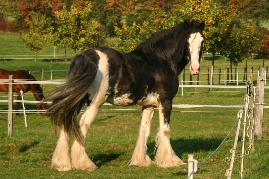Clydesdale Sabino Gelding by LuDa-Stock