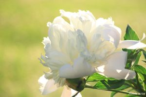 White peony by MDDahl