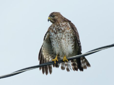 Coopers Hawk by ecfield