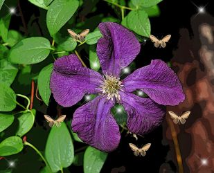Clematis by nmmarkowa