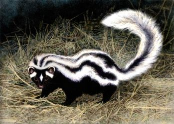 Striped Polecat by WillemSvdMerwe