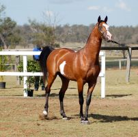 GE Arab pinto stand/walk sideways ears up front 3/ by Chunga-Stock
