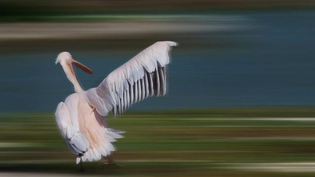 Pelican competition by leglaunecmichel