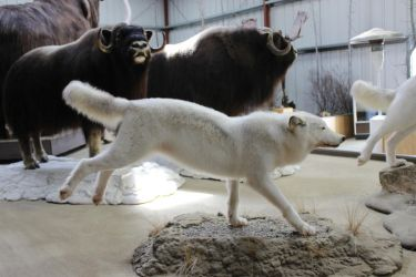 White Wolf Stock 4 by GloomWriter