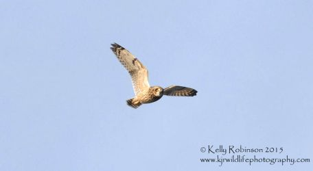 Short-Eared Owl Flight by Shadow-and-Flame-86