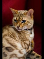 Tabby I by GMCPhotographics