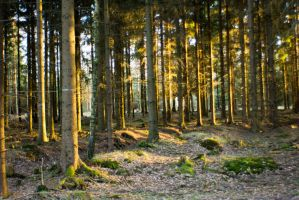 Forest at sunset by mprangenberg