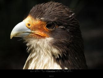 Caracara by Crooty