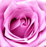 Another Pink Rose by moviegirl78