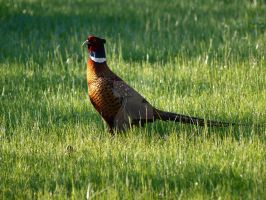 Common pheasant by 75ronin