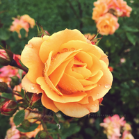 Yellow rose with waterdrops 3 by Estelle-Photographie