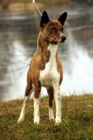 Ofi the basenji 3 by shetanka