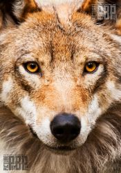 A face of a Wolf by PictureByPali