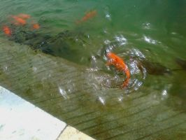 Fish in the Golden Temple lake by yashmeet135