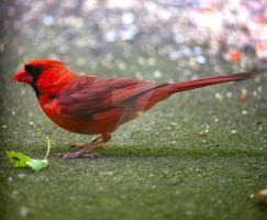 Cardinal by photohooks
