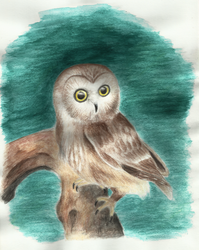 Northern Saw-whet (Owl) watercolour painting by varjules