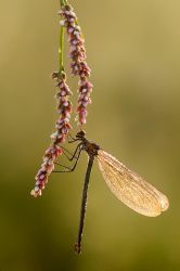 damselfly and the sunrise by dralik