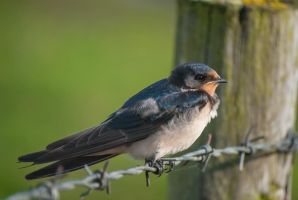 Barn swallow by NicoFroehberg