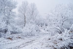 Trees in the Snow by Tumana-stock