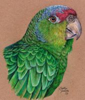 Losing Altitude - Red-Crowned Amazon by KristynJanelle