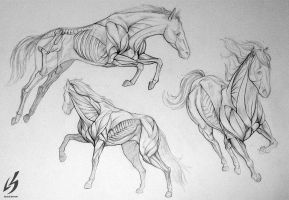 Horse Anatomy by LauraBevon