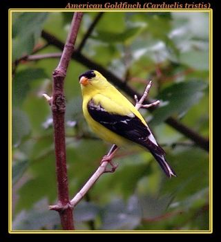 American Goldfinch by boron