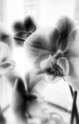 Orchid by MySweetDarkness