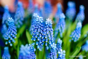 Grape Hyacinth by joerimages