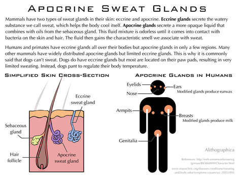 Science Fact Friday: Apocrine Sweat Glands by Alithographica
