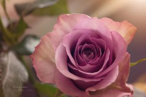A rose to Linny by CindysArt
