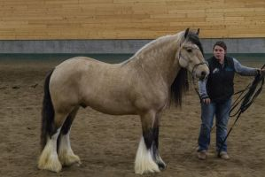 Gypsy Vanner 11 by CastleGraphics