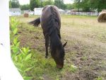 Gelding by MollyMay335