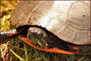 Painted Turtle Close-up by mydigitalmind
